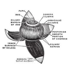 Vascular coat of the eye vintage vector