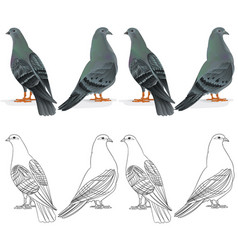 border carriers pigeons domestic breeds vector image