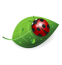 ladybird on a green leaf vector image vector image