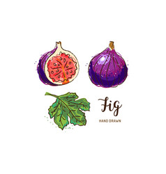 fig fruit drawing watercolor figs on a white vector image