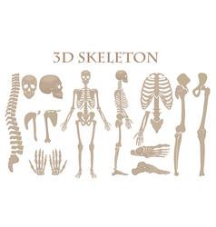Human bones 3d realistic skeleton vector