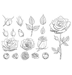 Set hand drawn contour roses rose buds and vector