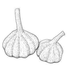 Garlic hand drawn sketch vector