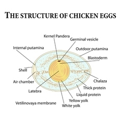 The structure of chicken eggs vector