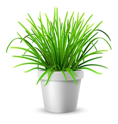 green grass in white flowerpot vector image