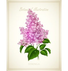 Syringa Botanical vector
