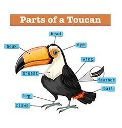 Diagram showing parts of toucan vector