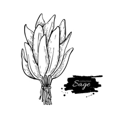 Sage bunch drawing Isolated sage leaves vector image