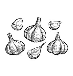 hand drawn set garlic food vector image