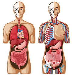 Human anatomy model with different systems vector image