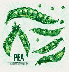 digital detailed line art color pea vector image