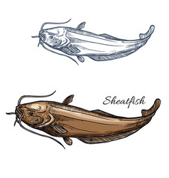 sheatfish fish isolated sketch icon vector image