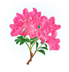 Pink rhododendron branch mountain shrub vintage vector