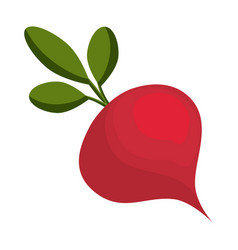 Radish fresh vegetable vector