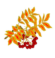 Autumn branch of rowan leaves and berries summer vector