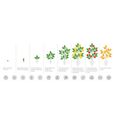 Plant growth stages growing period steps harvest vector