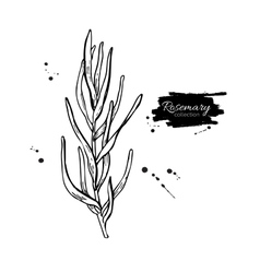 Rosemary drawing Isolated Rosemary plant vector