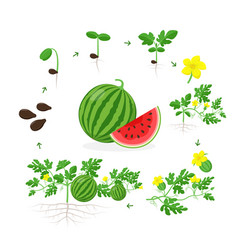 watermelon plant growth stages from seed seedling vector image