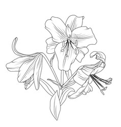 Blooming lily flowers bouquet isolated black white vector