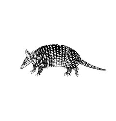 Hand drawn armadillo vector