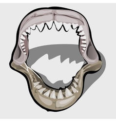 Toothy jaw a shark with an open mouth vector