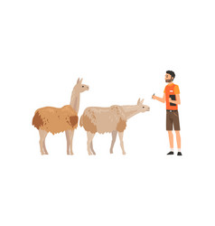 Zoo worker or veterinarian examining alpacas vector