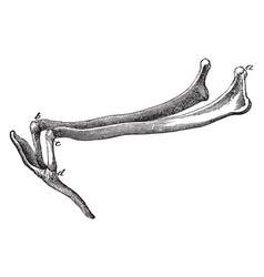 hyoid series of bones in a horse vintage vector image vector image