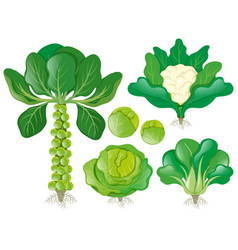 Different types of head vegetables vector
