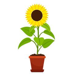 sunflower plant in flower pot vector image