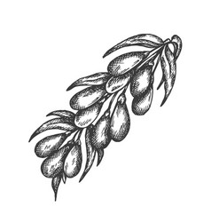 berry hand drawn sketch fruit vector image