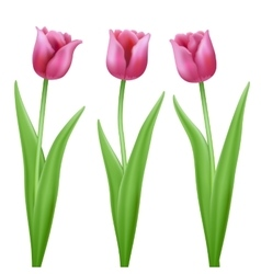 three pink cartoon tulips vector image