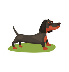 Dachshund dog purebred pet animal standing on vector