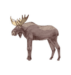 hand drawn elk vector image