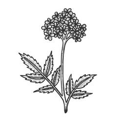 valerian herb sketch engraving vector image