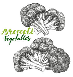 broccoli vegetable set detailed engraved vintage vector image