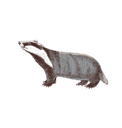 hand drawn badger vector image