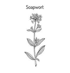 Soapwort saponaria officinalis medicinal plant vector