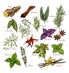 Spices and herbs sketch icons of seasonings vector
