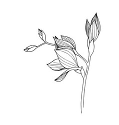 Freesia floral botanical flower black and vector
