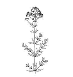 galium physocarpum botanical draw vector image