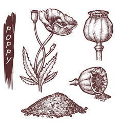 poppy seeds and flower culinary spice sketch vector image