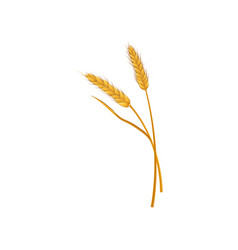 Two dry spikelets of wheat grain culture cereal vector