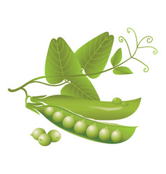 Realistic pods of green peas tendril and leaves vector