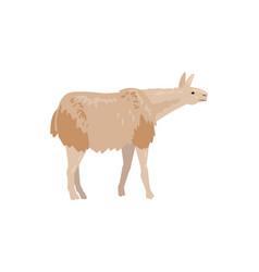 Cute fluffy llama or alpaca animal vector