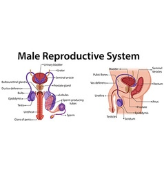 Diagram showing male reproductive system vector
