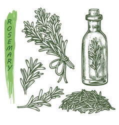 rosemary set herbs and aromatic spice seasonings vector image
