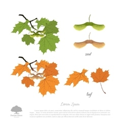 Branch seeds and leaves of maple vector image vector image