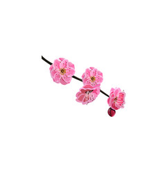 red cherry flower vector image