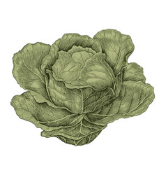 cabbage hand drawing vintage engraving vector image