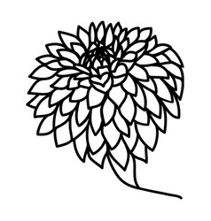chrysanthemum flower floral hand drawn design sign vector image